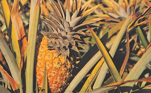 https://www.farmersweekly.co.za/app/uploads/2020/05/pineapple.jpg