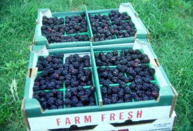 Flats of Texas blackberries